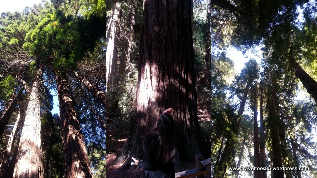 Muir Woods1.jpg