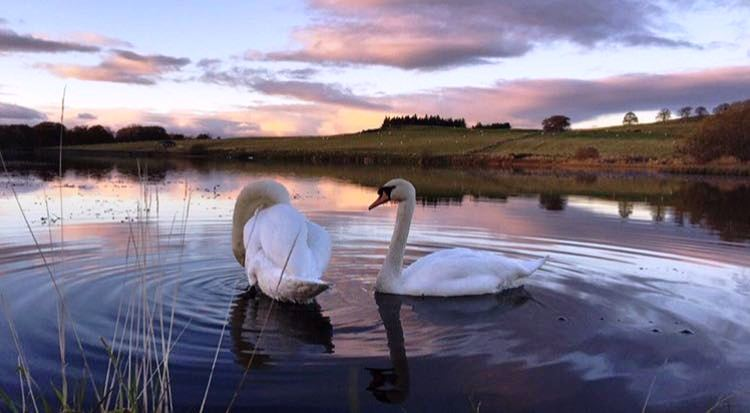 Swan Lake at Stirling University.jpg